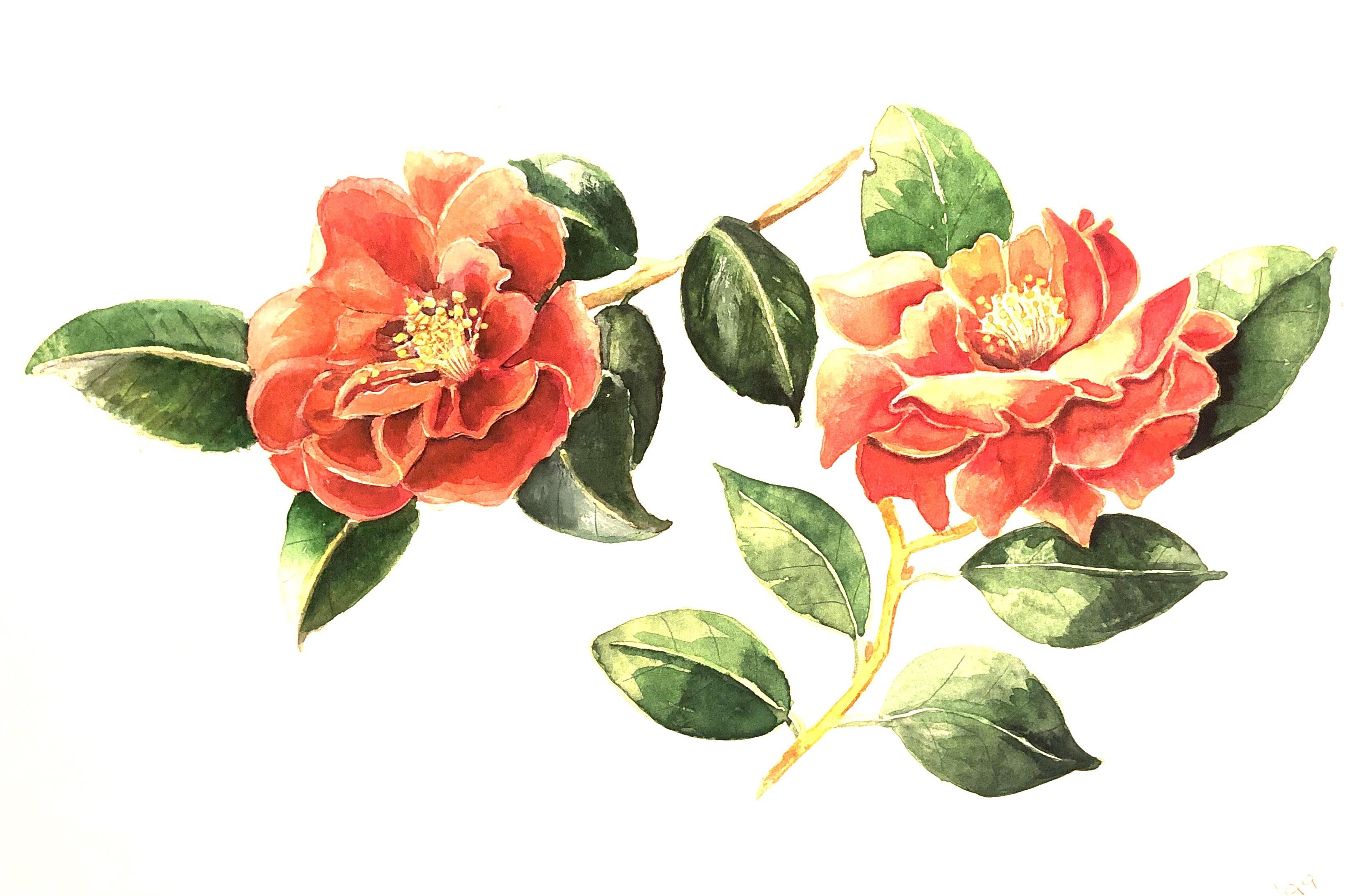 Camellia    Watercolour     22 x 30 cm     (framed size 43 x 51 cm) White frame.  Dark green mount