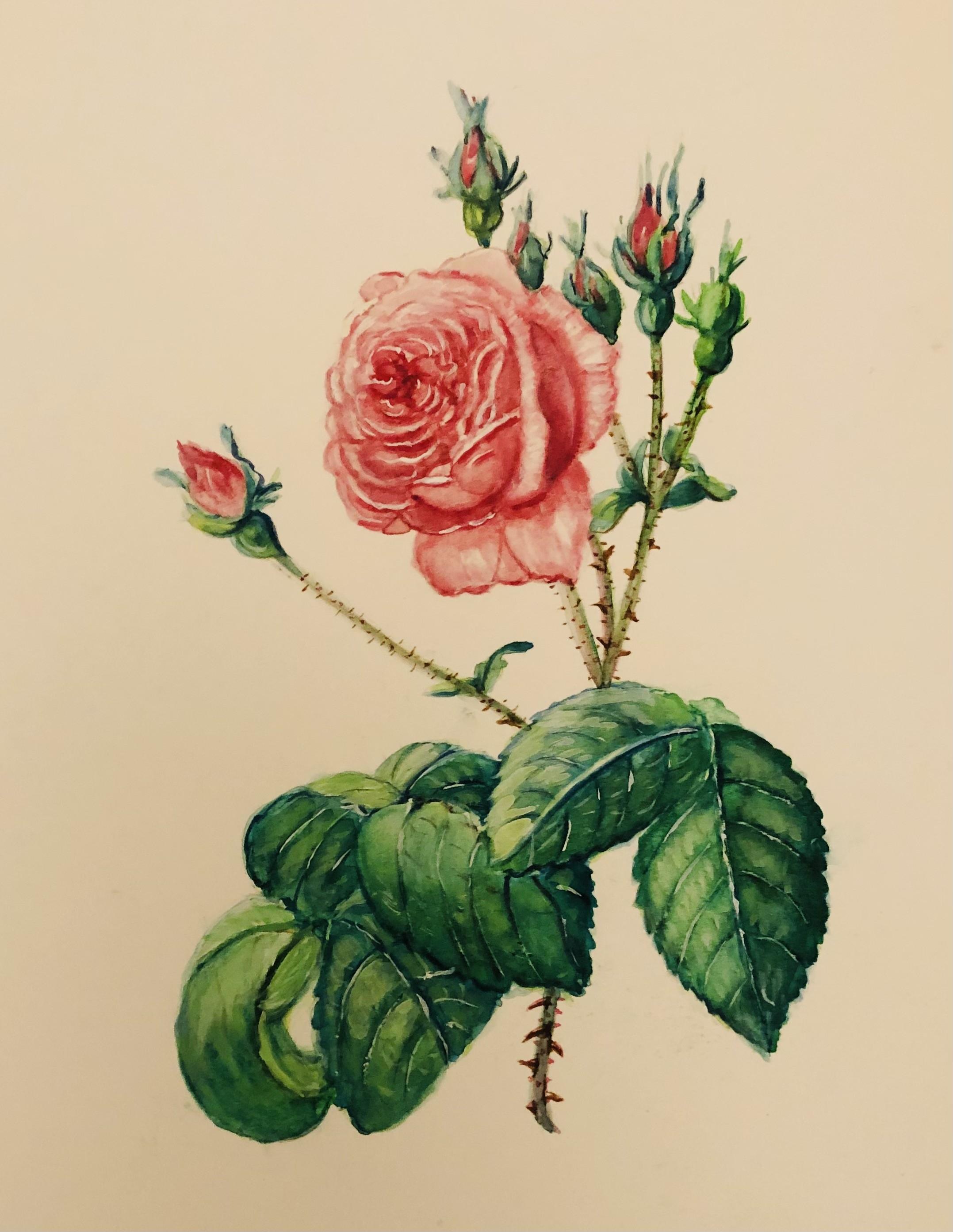 Rose I      Watercolour       18 x 13 cm   (Framed size 38.5 x 33.5 cm)