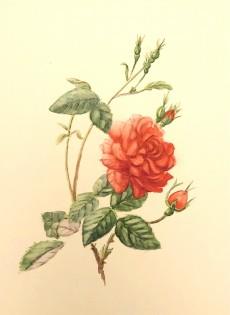 Rose II     Watercolour       18 x 13 cm   (Framed size 38.5 x 33.5 cm) White frame    Dark green mount
